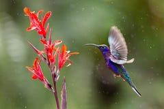 Hummingbird. Shooting hummingbirds in Costa Rica Stock Photography