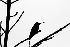 Hummingbird silhouette. A hummingbird silhouette about to launch into the sky Royalty Free Stock Image
