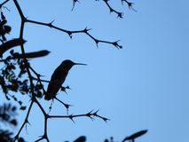 Hummingbird silhouette. Hummingbird resting on a tree branch Royalty Free Stock Images