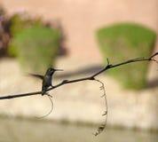 Hummingbird silhouette. Hummingbird resting on a tree branch Stock Photo