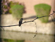 Hummingbird silhouette. Hummingbird resting on a tree branch Royalty Free Stock Image