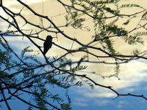Hummingbird silhouette. Hummingbird resting on a tree branch Stock Image