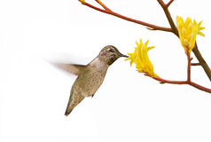 Hummingbird sipping nectar Stock Photos