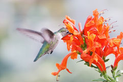 Hummingbird sipping nectar Royalty Free Stock Photography