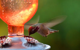 A Hummingbird sipping nectar. Royalty Free Stock Images