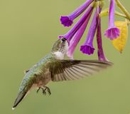 Hummingbird sipping on Violet Flowers Royalty Free Stock Photography