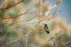 The hummingbird sits on a branch on a colourful background of color stains of foliage. Royalty Free Stock Images