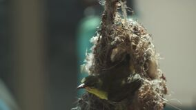 Hummingbird sits on a nest from above and, having pulled out a head
