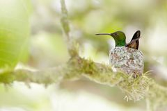 Hummingbird sitting on the eggs in the nest, Trinidad and Tobago. Copper-rumped Hummingbird, Amazilia tobaci, on the tree, wildlif royalty free stock photos