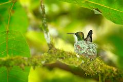 Hummingbird sitting on the eggs in the nest, Trinidad and Tobago. Copper-rumped Hummingbird, Amazilia tobaci, on the tree, wildlif stock photography