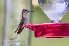 Hummingbird sitting on feeder Stock Photography