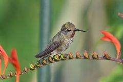 The hummingbird sitting on the flower royalty free stock image