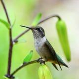 Hummingbird sitting on lily branch Stock Photo