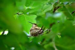 Hummingbird Sitting In Nest Royalty Free Stock Image