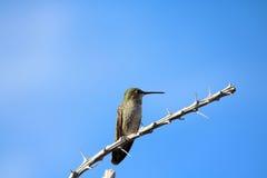 Hummingbird stock photography