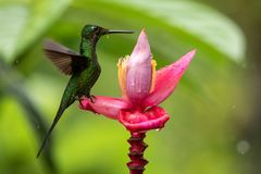Hummingbird sitting on pink and yellow flower, garden,tropical forest, Ecuador, bird with outstretched wings,hummingbird. Sucking nectar from blossom,exotic royalty free stock image