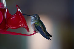 Hummingbird sitting on a red feeder Royalty Free Stock Photo