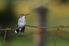 Hummingbird Sitting. Ruby-throated female hummingbird perched on fence wire. Muted background royalty free stock image