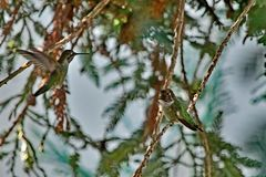 A Hummingbird sitting on a tree branch royalty free stock photography