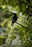 The hummingbird  sitting on the tree. Royalty Free Stock Image