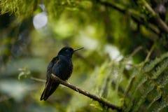 The hummingbird  sitting on the tree. Stock Photography