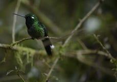 The hummingbird  sitting on the tree. Stock Photos