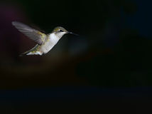 Hummingbird skrzydła Obrazy Royalty Free