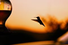 Hummingbird. Small Hummingbird silhouetted coming in at sunset to a feeder, wind caught in midgflight Stock Photography