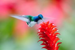 The hummingbird is soaring and drinking the nectar stock photo