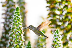The hummingbird royalty free stock images
