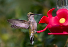 Hummingbird standing on feeder Stock Photography