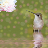 Hummingbird standing in water looking at Peony Royalty Free Stock Images
