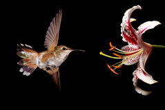 Hummingbird with Stargazer Lily Flower over black background Stock Image