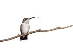 Hummingbird sticks out her tongue Stock Image