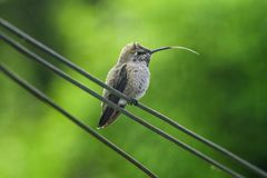 A hummingbird sticks out its tongue royalty free stock photo