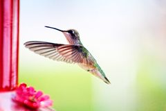 Hummingbird. Stop motion in flight stock image
