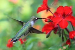Hummingbird Royalty Free Stock Photography