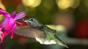 Hummingbird taking off from her nest at windy moment and visiting flower