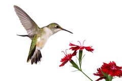 Hummingbird and three dianthus Royalty Free Stock Photos