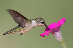 hummingbird throated nieletni rubinowy Zdjęcia Royalty Free