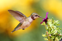 hummingbird throated nieletni rubinowy Zdjęcie Stock