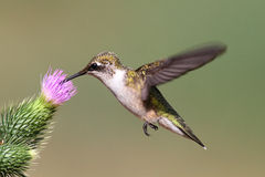 hummingbird throated nieletni rubinowy Obraz Royalty Free