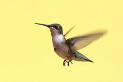 hummingbird throated nieletni rubinowy Fotografia Royalty Free