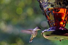 Hummingbird. A tiny hummingbird drinking nectar Royalty Free Stock Images