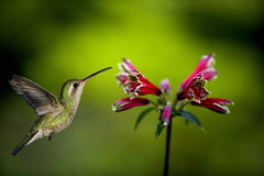 Hummingbird about to feed. An adult female magnificent Hummingbird Eugenes fulgens feeding Stock Photos