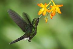 Hummingbird Tourmaline Sunangel eating nectar from beautiful yellow flower in Ecuador Stock Image