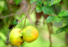 Hummingbird on a Tree Branch Royalty Free Stock Images