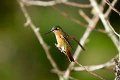 Hummingbird Royalty Free Stock Photos