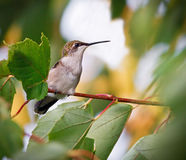 Hummingbird in Tree Royalty Free Stock Image