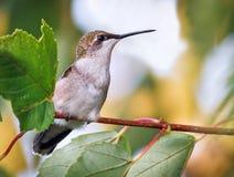 Hummingbird in Tree Stock Photo